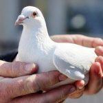 Мясные породы голубей — их характеристики, кормление и содержание