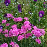 Цветок Армерия посадка в открытый грунт, уход, существующие болезни и вредители