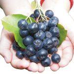 Черноплодная рябина — лечебные свойства и противопоказания, рецепты для здоровья