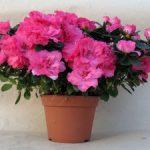 Комнатная азалия правила ухода в домашних условиях для обеспечения пышного цветения