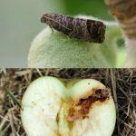 Плодожорка – методы борьбы с яблонной, сливовой и прочими