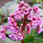 Цветок бадан разновидности и фото, посадка в открытый грунт, особенности ухода и размножения