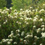 Основные характеристики багульника болотного и лечебные свойства растения