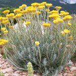 Цветок бессмертник как выглядит, где растёт, какие показания и противопоказания к использованию