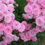 Особенности посадки розы боника и розы флорибунда, уход за растениями и описание
