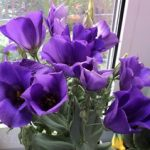 Цветы эустомы из семян внешний вид, способы выращивания в домашних условиях и рекомендации по уходу