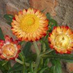 Названия и фото сухоцветов, выращиваемых для зимних композиций посадка и высушивание, способы