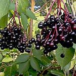 Черная бузина где растет в России, для чего используется, как собирать и хранить