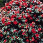 Комнатный цветок камелия разновидности с фото, рекомендации по уходу в домашних условиях