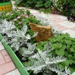 Комнатный цветок цинерария серебристая фото, выращивание из семян, посадка и уход за растением