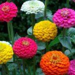 Разнообразие циний цветов виды и названия, особенности синих цветов и фото