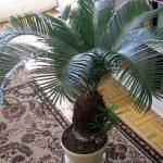 Цикас — уход в домашних условиях за пальмой от пересадки после покупки до размножения