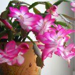 Цветок декабрист фото, размножение и уход в домашних условиях, проблемы выращивания