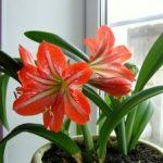 Комнатная лилия уход в домашних условиях и классификация, приобретение домашней лилии, посадка
