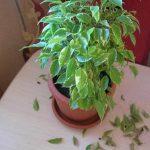 Что делать, когда в домашних условиях опадают и желтеют листья у фикуса Бенджамина основные причины