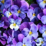 Цветок анютины глазки ключевые характеристики и описание, правила посадки и ухода, фото цветов