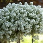 Посадка и уход за лобулярией в домашних условиях характеристика растения, выращивание из семян,