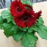 Комнатная гербера в горшках особенности ухода за цветком в домашних условиях