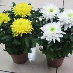 Комнатная хризантема как ухаживать за ней в домашних условиях, выращивание и уход, фото