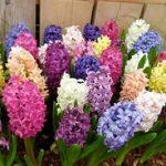 Комнатные луковичные растения фото, название и описание самых популярных цветов