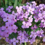 Ночной цветок фиалка способы выращивания вечерницы, уход, размножение растения