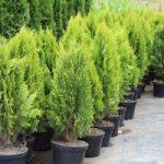 Оформление дачи хвойными деревьями виды растений и особенности, фото садов, названия сортов
