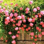 Фото цветка похожего на пион характеристики, способы размножения пионовой розы