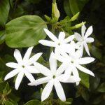 Особенности выращивания кустарника жасмин, уход за этим деревом и использование цветов в дизайне