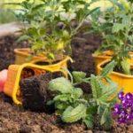 Посадка и уход за гацанией в домашних условиях сорта, правила выращивания из семян, уход