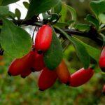 Растение барбарис как выращивать дерево barbaris, правила ухода и способы размножения