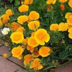 Цветы эшшольция описание и фото растения, выращивание из семян, когда сажать