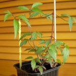 Посадка клематисов в домашних условиях как вырастить из семян, пересадка, уход