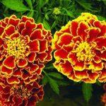Описание бархатцев сорта тагетеса и фото цветков бархатца