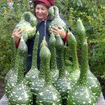Фото и советы по посадке, выращивании и употреблении тропической тыквы