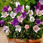 Садовый платикодон описание и популярные сорта с фото, выращивание из семян, особенности посадки и