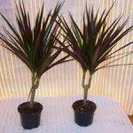 Названия комнатных пальм разновидности растений и создание благоприятного климата, правила ухода и