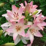Лилия сорта Марлен фото цветов, посадка и уход за ними