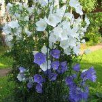 Посадка многолетнего колокольчика описание и виды, правила выращивания, фото цветов