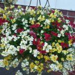Цветок немезия описание и разновидности с фото, тонкости выращивания из семян, посадки и ухода в