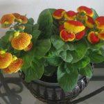 Цветок кальцеолярия виды и фото, выращивание из семян и черенков, особенности ухода в домашних