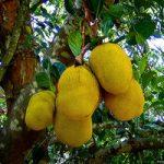 Особенности хлебного дерева описание, полезные свойства, фото