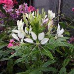 Особенности выращивания клеомы из семян, когда сажать растение