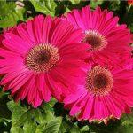 Особенности выращивания герберы, их размножение и фото цветка