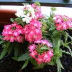 Посадка и уход за вербеной сорта, агротехника выращивания, фото цветов