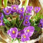 Цветы крокусы отбор материала и выращивание в домашних условиях в грунте, виды растения, посадка и