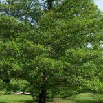 Особенности ольхи когда начинает цвести, применение, фото дерева и листьев
