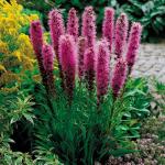 Цветок лиатрис выращивание лиатриса колоскового блу и спиката из семян, посадка в открытый грунт и