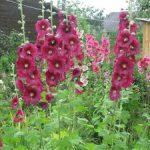 Мальва разновидности цветка с фото, особенности ухода и выращивания, размножение и посадка в