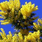 Мимоза — фото, виды, уход, история цветка