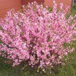 Цветущий декоративный кустарник миндаль его особенности, признаки цветения, отличительные черты и